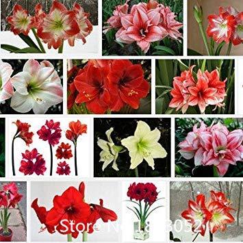 graines Promotion Amaryllis, graines bon marché Amaryllis, Barbade graines de lys en pot, Bonsai graines balcon de fleurs - 100 pcs