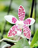1x Phalaenopis Amabilis x Tetraspis Ibrido Orchidea Camera Pianta Novità L22