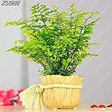 IDEA HIGH Seeds-ZLKING 200 PCS Die ältesten Landpflanzen Fern Bonsai Indoor Bonsai Wichtige Verschönerung Pharmazeutisch verträgliches essbares: 200Fern3