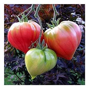 Fleischtomate Tomate - Anna Russian - frühe Sorte bis 500g - 20 Samen