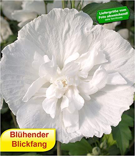BALDUR-Garten BALDUR-GartenGefüllter Hibiskus Chiffon weiß 1 Pflanze Hibiscus syriacus winterhart