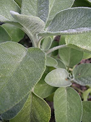 Kräuterey : Salbei - Elefantenohr-Salbei - Salvia officinalis Pflanze - Bioland von Kräuterey auf Du und dein Garten