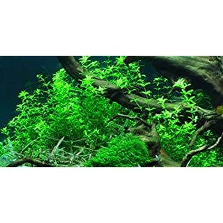 Tartan Guppy 1 x Hemianthus micranthemoides Pearl Grass Live Aquascape Carpet Aquarium Plant - Live Plants by