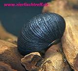 Zierfischtreff.de Antrazit - Napfschnecke Neritina pulligera 5 Stück - TOP Algenfresser Antrazitschnecke - Antrazit Schnecke