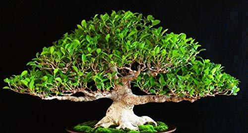 PLAT FIRM KEIM SEEDS: 100 Samen: Samen Chinese Feiger, Ficus Retusa, Tiger Bark Ficus, Bonsai geeignet -