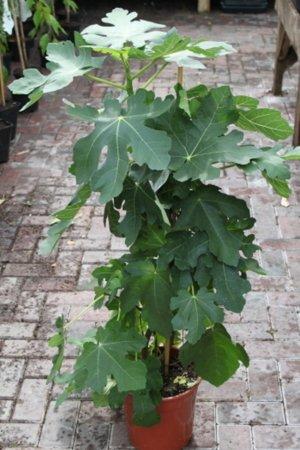 Plante de jardin - Ficus carica \\