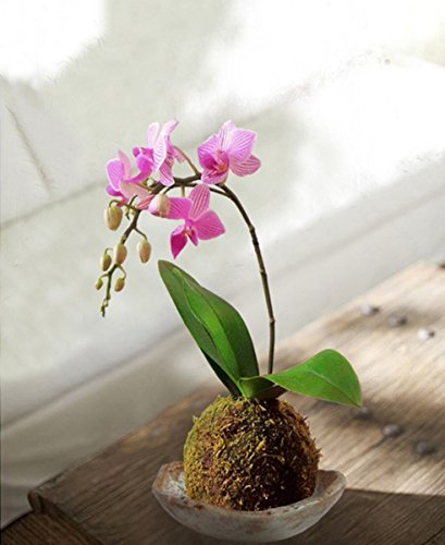 kokedama-orquidea-tamano-mini