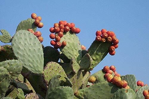 plat firm germinazione dei semi: 2 winter resistente di fico d'india opuntia cactus edibile emergenza survivial frutta