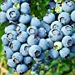 BLUEBERRY PLANT: BLUECROP-Superb Birthday Plant & Flower For Mum,Mom,Dad,Grandad,Him,Her