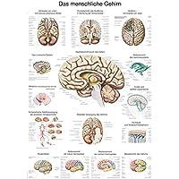 """Lehrtafel """"Das menschliche Gehirn"""" (deutsch), 70x100cm"""