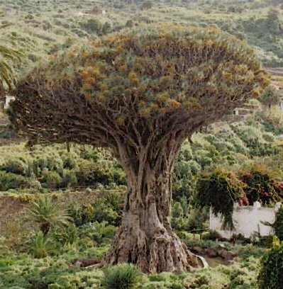 kanarischer drachenbaum dracaena draco 10 samen. Black Bedroom Furniture Sets. Home Design Ideas
