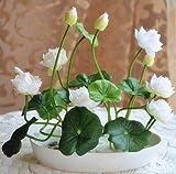 10pcs / pack ciotola di semi di loto piante idroponiche piante acquatiche semi di fiori in vaso giglio di acqua semi Bonsai Garden 4