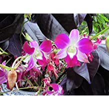 Dendrobium-phalaenopsis Sonia from the Orchid family with 28000 species . (English Edition)
