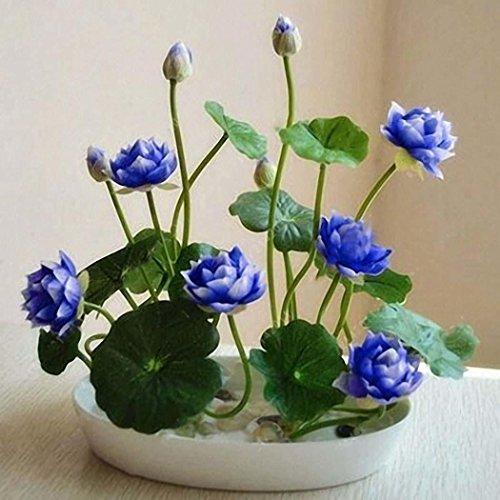Semirosa 5/10 pcs semi di fiori di loto da piantare semi di fiori rari pianta profumati per orto giardino balcone interni ed esterni
