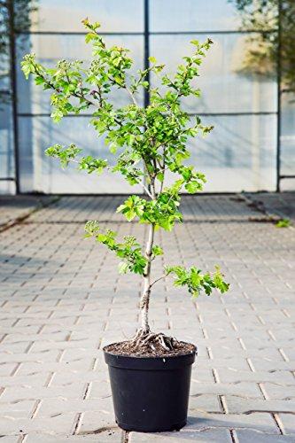Echter Rotdorn Paul's Scarlet 100-150 cm Busch für Sonne-Halbschatten Zierstrauch rot blühend Terrassenpflanze winterhart 1 Pflanze im Topf