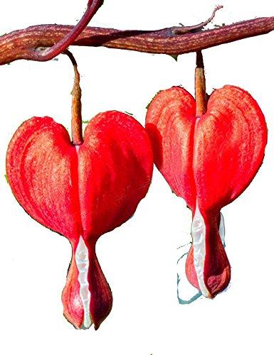 ZEARO 100 Pièces Graines de Coeur de Marie Graines de Pivoine Purse Peony Seeds Graines parfumées Fleurs parfumées