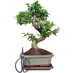 Zimmerbonsai | chinesischer Liguster Bonsai | ca. 7-8 Jahre | ca. 30 cm hoch | Immergrün | inkl. Bonsaischere