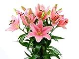 Blumenversand - Blumenstrauß - pinke/rosa Lilien - 10 Stück im Bund - ein Lilientraum in pink/rosa - mit Gratis - Grußkarte zum Wunschtermin versenden