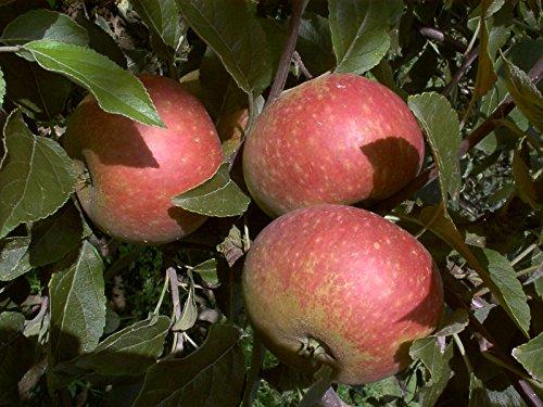 apfelbaum-ingrid-marie-lh-130-150-cm-pfel-rot-busch-schwachwachsend-im-topf-obstbaum-winterhart-malu