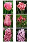 Sélection de bulbes à fleurs (60 bulbes) - Rose - Livraison gratuite