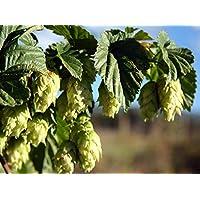 """PLAT FIRM Semillas DE GERMINACION: Chinook Beer Hops Vine - Humulus - Â¡Cultiva tu Propia Cerveza! - Olla de 2.5"""""""