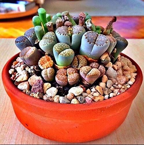 PLAT FIRM Germination Les graines: RARE Lithops MIX cactus succulentes pierres vivantes EXOTIQUES graines de desert rock 50 graines