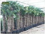 Trachycarpus wagnerianus, Hanfpalme, Palme, Winterhart - verschiedene Größen - PALLETTENVERSAND INNERHALB DEUTSCHLAND (200-240cm - Stamm 100-120cm - Topf 65ltr.)