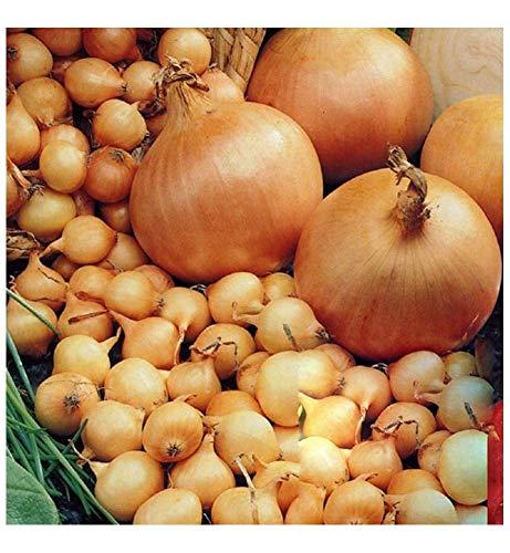begorey Garten - 100 Stk. Riesige Zwiebel Samen Organische Stuttgarter ZwiebelSamen Gemüse Samen Pflanze Bonsai Seeds für Ihr Garten Balkon