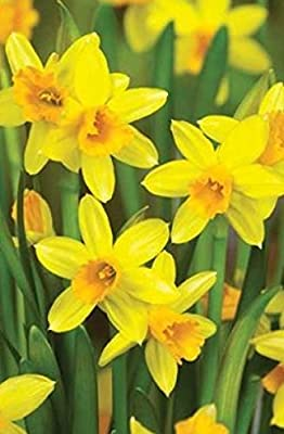 """"""" Tete a Tete"""" Narcissi - Spring Flowering Dwarf Rockery Bulbs - Available in Packs of 50, 100 & 200 - Free UK P & P"""