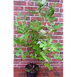 Tulpenbaum, Liriodendron, 130-140 cm