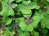 Glücksklee Oxalis deppei Iron Cross Glücksbringer 75 Blumenzwiebeln