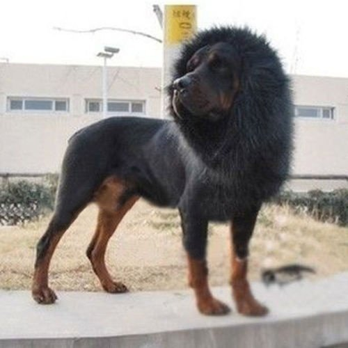 GSD Pet Dog Costume Lion Mane Wig for Dog Cat Halloween Dress up Christmas Halloween Clothes