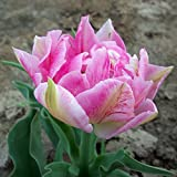 20 x Tulipe Double Hâtive Peach Blossom - Bulbe Vivace