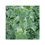 Marrube blanc - Marrubium vulgare