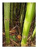 Dendrocalamus membranaceus - Riesenbambus - 100 Samen