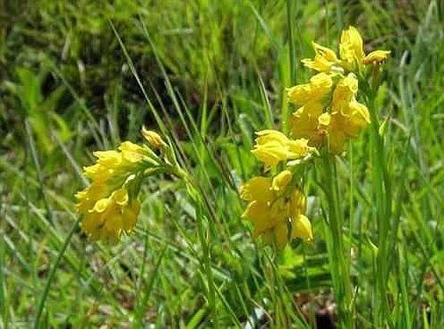 Schizochilus zeyheri - orchidées - 20 graines