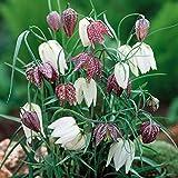 Portal Cool 20 X fritillaire pintade Snakeshead Lily printemps vivaces Bulbes Plante