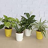 Ugaoo Air Purifier Plants - Sanseveria Green, Spider Plant, Peace Lily, Money Plant Variegated