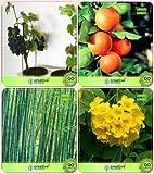Pinkdose Baumsamen pflanzt Traube, Orange, Kleine Bambus, Tecoma Stans Combo Für HomPinkdose Fruchtsamen & Bamboo & Blüte P