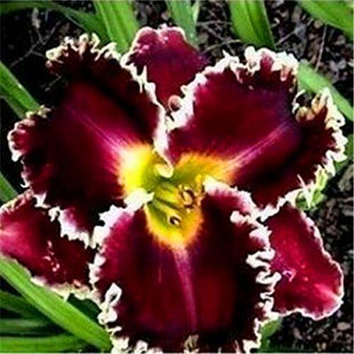 100 graines Mélanger les graines freesias, magnifique jardin à la maison de bricolage coloré et parfumé fleur plante fleur coupée, cour, balcon décoration