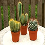 Kaktus Mischung 3 Sorten - 3 kakteen