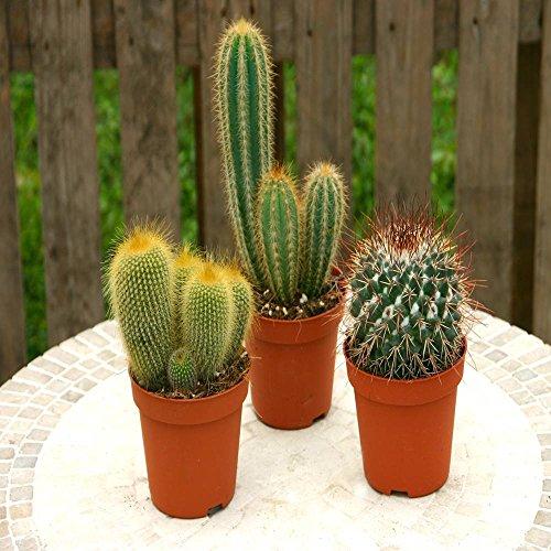 Cactus mixte A - 3 cactus