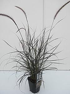 Zwerg Lampenputzergras - Pennisetum setaceum Rubrum Dwarf - 40-50cm 2Ltr. Topf von GardenPalms - Du und dein Garten