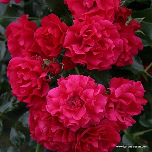 'Gärtnerfreude' -R-, Kleinstrauchrose in A-Qualität Wurzelware, ADR-Rose