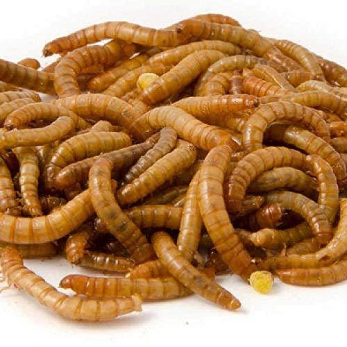 2kg getrocknete Mehlwürmer für Wildvögel. die beste Qualität Mehlwürmer ideal für Vogelfutter. ideal für Vogelhäuschen und Vogeltische. köstliche und nahrhafte Mehlwürmer -
