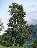 Bergahorn ** Acer pseudoplatanus ** (50 Stück Bergahorn 2j. 1+1 50-80 cm, 80100 ohne Herkunftsnachweis)