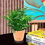 Nurturing Green Air purifying NASA recommended Chamaedorea Palm Plant in Orange Capri Pot for home (Live Indoor Dwarf Areca Palm Plant with pot for living room, bedroom, office, table top etc)