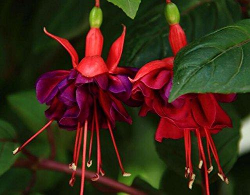 lanternes Fuchsia / fleurs / graines de fleurs balcon intérieur salon / Begonia de Bell pot graines de fleurs 100 graines 13