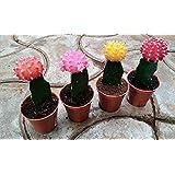 CAPPL Moon Small Cactus (Multicolour) - Pack of 4