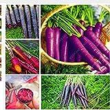 Vistaric 100 semillas/bolsa Semillas de zanahoria negra Semillas de zanahoria púrpura sol Reliquia de siembra Deliciosa Semillas de verduras dulces y sanas Jardín familiar